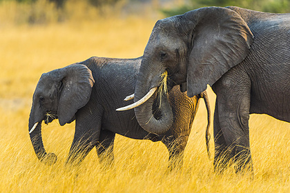 Турист отдыхал в неположенном месте, столкнулся со слоном и умер