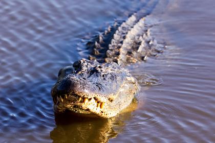 Трехметровый аллигатор изувечил охотника и бросил его в болоте