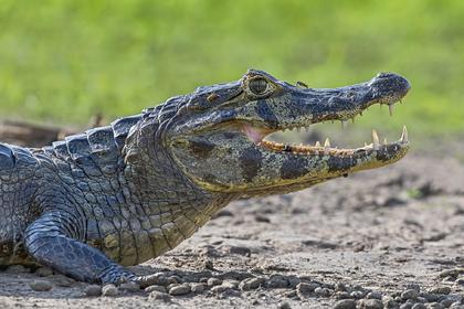 Рыбак схлестнулся с агрессивным крокодилом в битве на выживание