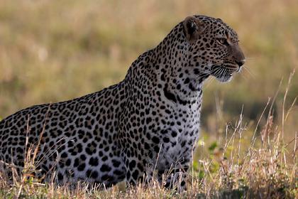 Леопард растерзал шестилетнего ребенка