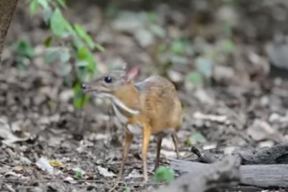 Неуловимый олень размером с кошку попал на видео впервые за 30 лет