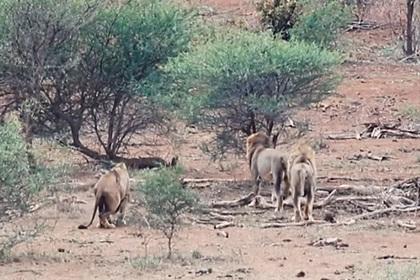 Три льва не поделили территорию и сцепились на глазах туристов