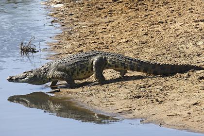 Вздремнувший на пляже рыбак проснулся в пасти крокодила