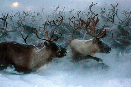 Российских оленей привили от сибирской язвы