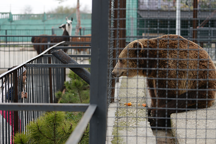 Владелец российского сафари-парка решил отстреливать «лишних» медведей