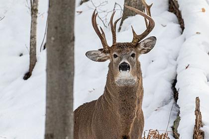 Обнаружен редчайший трехрогий олень