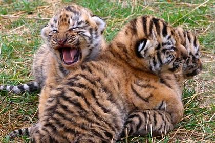 Тигры без прививки от бешенства обнаружились в Крыму