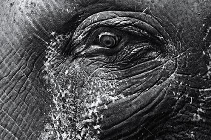 Умер слон-убийца по кличке бен Ладен