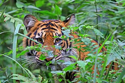 Редкий суматранский тигр растерзал фермера
