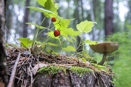 В России возьмут под контроль сбор грибов и ягод