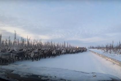 Россиянин остановился пропустить 3000 оленей на трассе и ждал 20 минут
