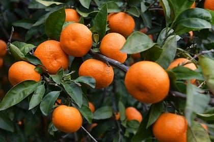 Названа опасность злоупотребления мандаринами