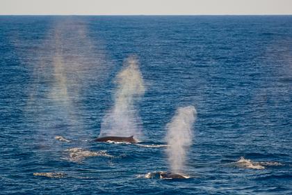 Российские ученые заметили скопление редких китов и тюленей в Арктике