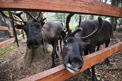Мурманскую западную популяцию оленей внесут в Красную книгу