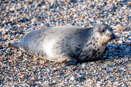 Толпа напугала раненого тюленя и довела его до смерти
