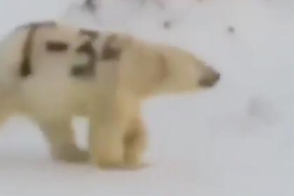 На Чукотке заметили белого медведя с надписью «Т-34» на боку