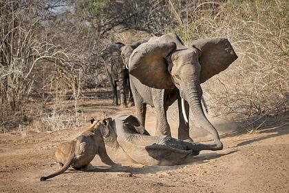Разъяренная слониха отбила детеныша у львиц и спасла его от съедения заживо