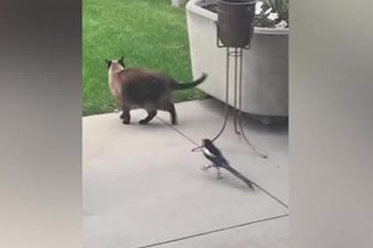 Сорока победила домашнюю кошку на глазах у ее хозяина