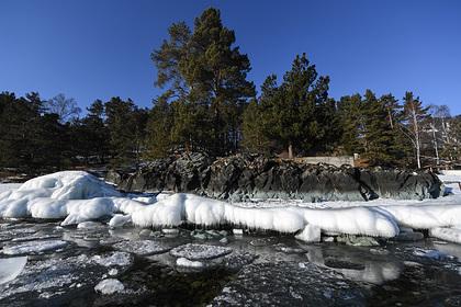 В российском регионе высадили более 880 тысяч кедров за год
