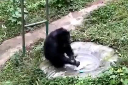 Шимпанзе подсматривал за своей смотрительницей и постирал ей одежду