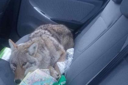 Мужчина принял койота за собаку и пригрел в своей машине