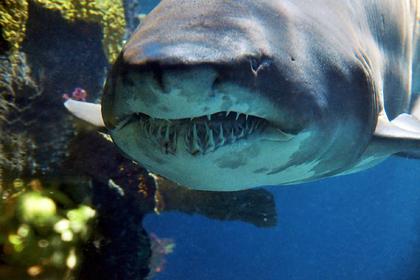 Тигровая акула напала на мужчину на глазах у его приятеля