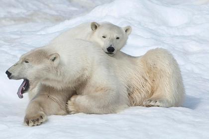 На Чукотке произошло нашествие голодных медведей
