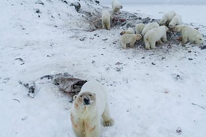 У оккупировавших российское село медведей отнимут тушу моржа