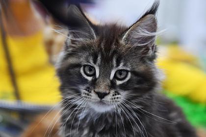 Названы любимые породы кошек россиян
