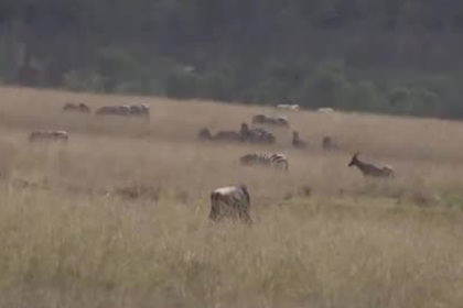 Голодная львица вплотную подкралась к беззаботной антилопе гну и съела ее