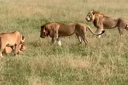Гиены украли добычу из-под носа дерущихся львов и попали на видео