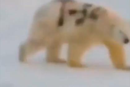 Ученый рассказал о скрытом смысле надписи «Т-34» на боку белого медведя