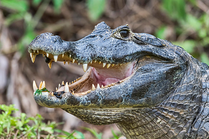 Крокодил перекусил мужчину пополам