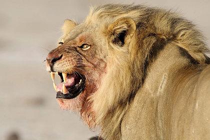 Сбежавший из заповедника лев загрыз мужчину и 30 собак
