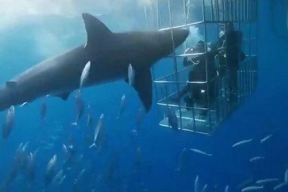 Смерть агрессивной акулы-людоеда в метре от дайверов попала на видео
