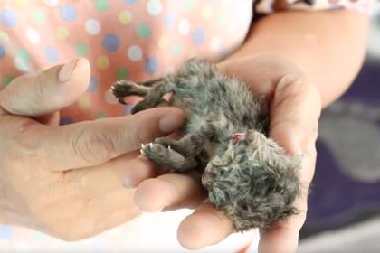 Редкий двуликий котенок появился на свет в Таиланде