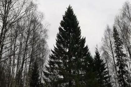 Главную новогоднюю ель страны срубили в Подмосковье