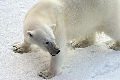 Оккупировавшие российское село медведи ушли к другому поселку с людьми