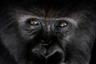 Самец горной гориллы отдыхает под деревом в Национальном парке вулканов, Руанда. Гориллы живут сплоченными группами до 30 особей во главе с вожаком — большим, доминирующим самцом, который получил название «серебряная спина». С возрастом на его спине проявляется серебристый узор.