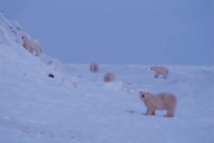 Оккупированное село на Чукотке покинули почти все белые медведи