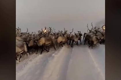 Россиянин снял на видео несущееся на него стадо оленей