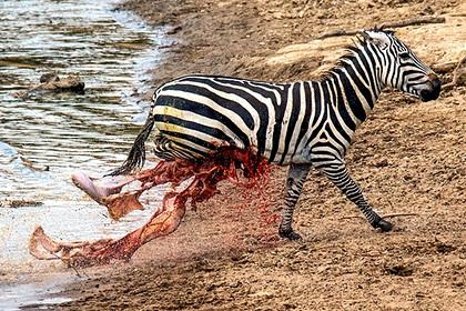 Голодный крокодил вспорол живот убегающей от него зебре