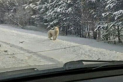 В России собака три месяца ждала у дороги своего хозяина и не дождалась