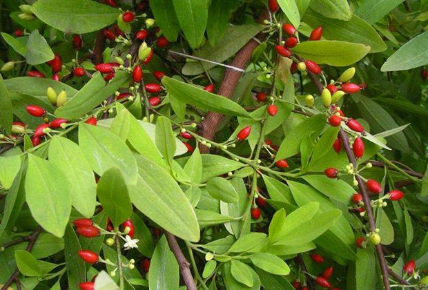 Растение кока
