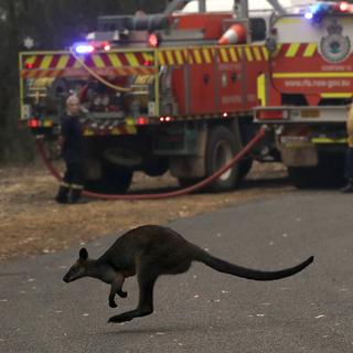 Кенгуру на фоне пожарных машин к северу от Сиднея