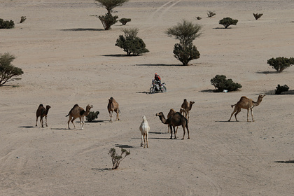 Власти Австралии убьют тысячи верблюдов из-за пожаров