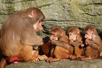 Вилла для съемок телешоу оказалась под угрозой из-за нашествия обезьян