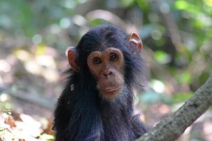 Отель предложил гостям попробовать детеныша шимпанзе
