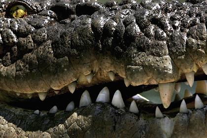 Притаившийся крокодил съел половину спасенной подростком черепахи