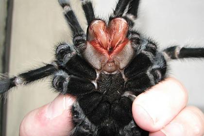 Украинец развел дома тысячу пауков-птицеедов